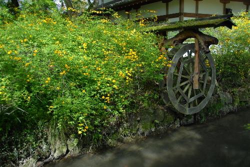 yamabuki06.jpg